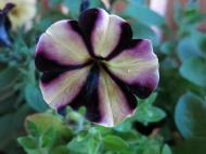 petunia sådd 7