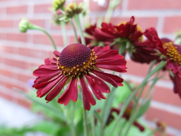 2014 Helenium 'Ruby Tuesday'