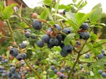 amerikanska blåbär