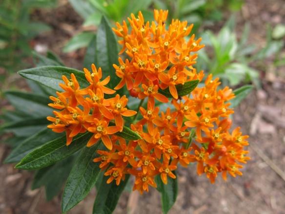 aug 2014 orange sidenblomma Asclepias tuberosa