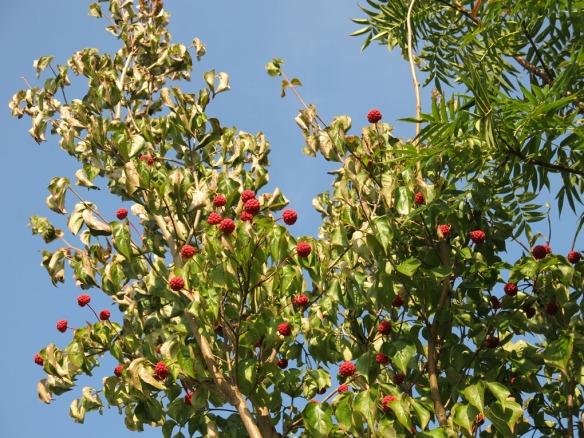 Sylt av blomsterkornellens röda bär