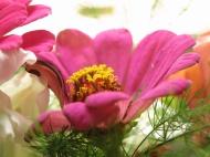 höstbukett zinnia lejongap dahlia 4