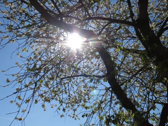 28 april 14 bigarråträd blommmor