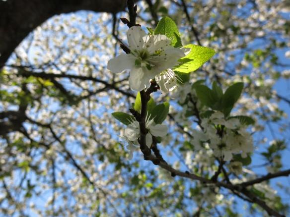 28 april 14 bigarråträd blommor