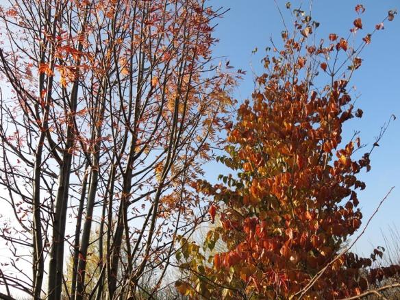 28 okt 14 dodong blomsterkornell trädhörn höst
