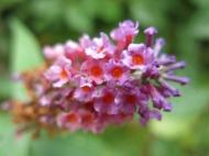 Fjärilsbuske 'Flower Power'