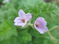 3 nov 14 erodium 'Cezembre'