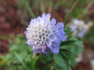 3 nov 14 vädd scabiosa 'blue diamond'