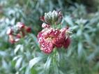 26 dec 14 gyllenlack frost
