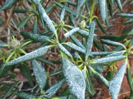 26 dec 14 rhododendron frost