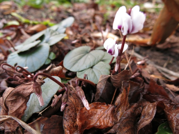 2 jan 15 cyklamen cyclamen coum 2