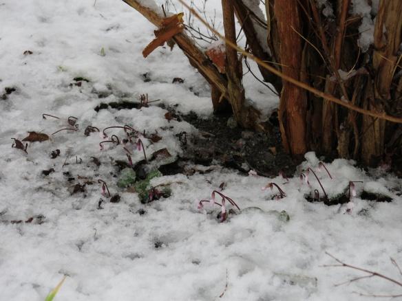 21 jan 15 cyklamen snö 1