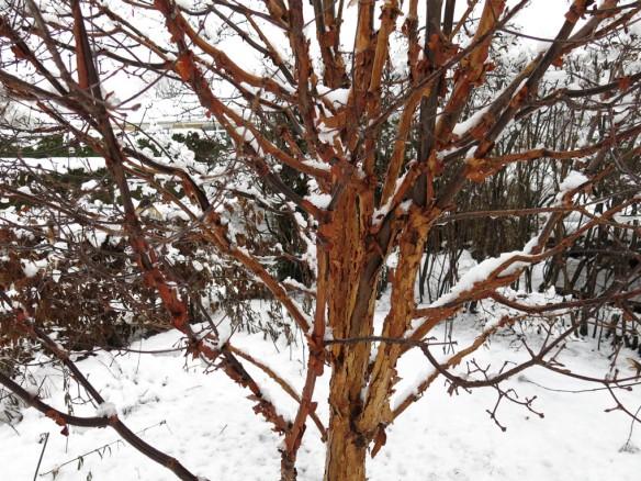 21 jan 15 kopparlönn snö