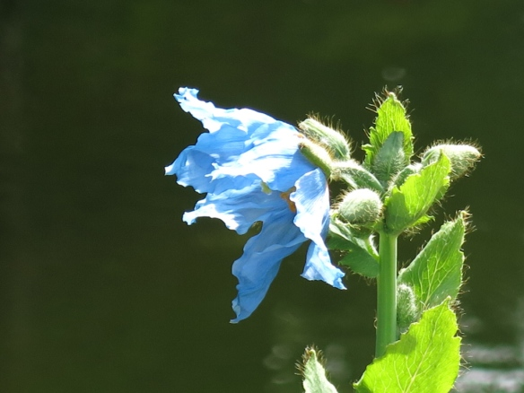 24 maj 14 botan 24 blå vallmo 'Lingholm'