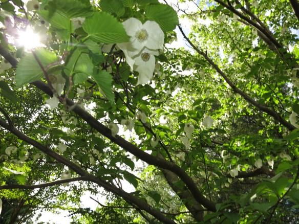 24 maj 14 botan 8 näsduksträd
