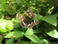 2 aug 14 Helbo fjärilar