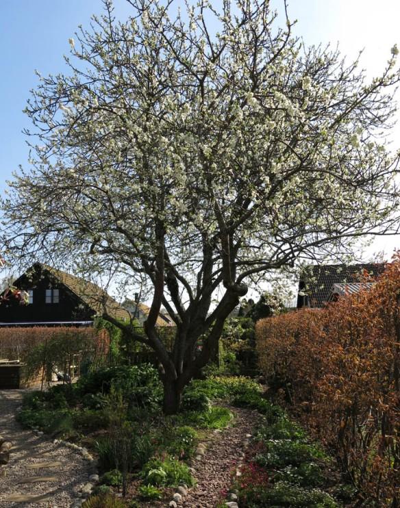 24 april 14 plommonträd lunden 1
