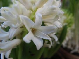 27 feb 15 vårblommor ingången hyacint