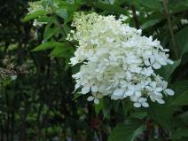 Syrénhortensia
