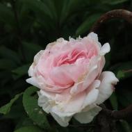 'Eden rose'.