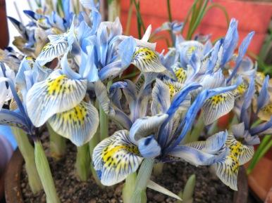 5 feb 15 trädgårdsbod trädgårdsrum vårblommor våriris katharine hodgkin 2