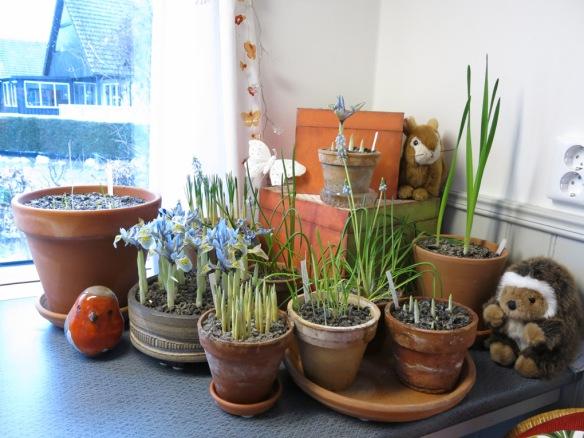 5 feb 15 trädgårdsbod trädgårdsrum vårblommor våriris katharine hodgkin