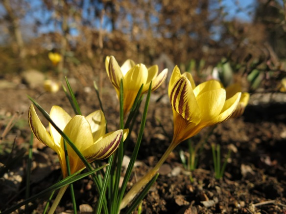 12 mars 15 vårtecken gul strimmig krokus