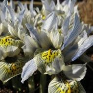 12 mars 15 vårtecken iris katharine hodgkin