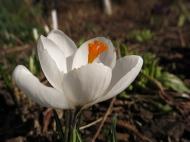 12 mars 15 vårtecken vit krokus