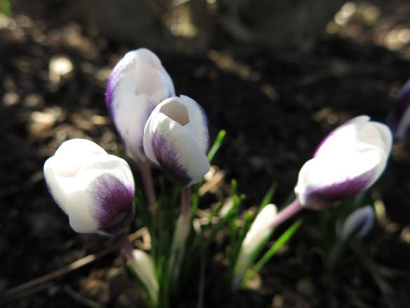 12 mars 15 vårtecken vit lila krokus prins claus