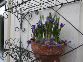 29 mars 15 aurikelhylla trädgårdsboden