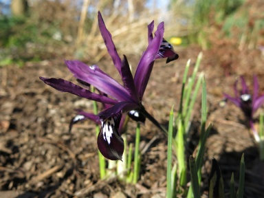 8 mars 15 vårtecken iris purple gem