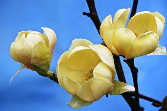 Honey tulip magnolia