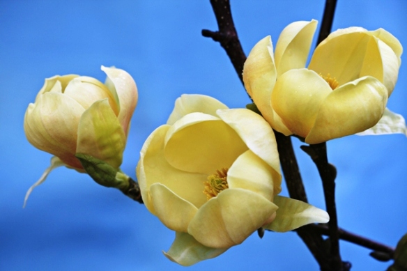 Honey tulip magnolia