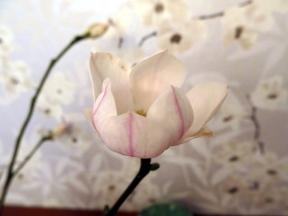 Magnolia mars 15 nr 2