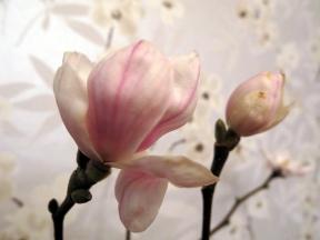 Magnolia mars 15 nr3