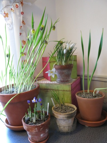trädgårdsrum trädgårdsbod vårblomning mars 3