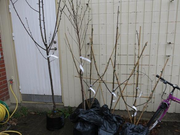 15 april 15 fruktträd spaljéäppelträd