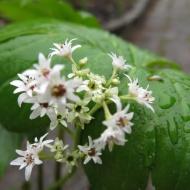 Lönnbräcka Mukdenia rossii