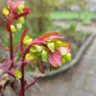 Mandeltörel Euphorbia amygdaloides purpurea