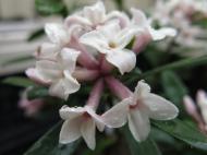 Tibast 'Eternal fragrance'