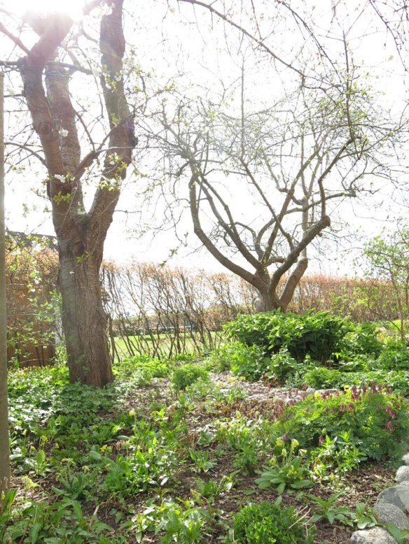 29 april 15 lunden bigarråträd blomning 2