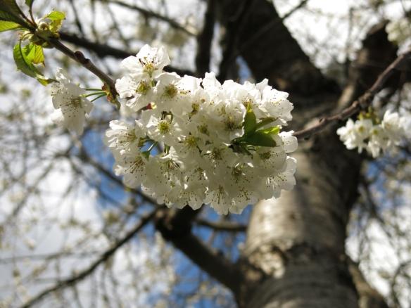 29 april 15 lunden bigarråträd blomning