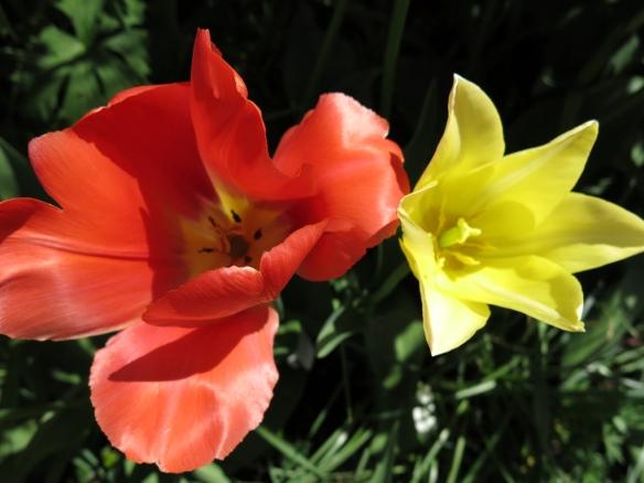 24 maj 15 stora trädäcksrabatten tulpaner 2