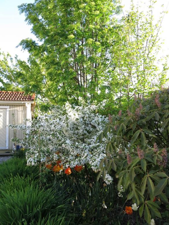 24 maj 15 trädhörnet prydnadsapel kastanj tulpaner 1