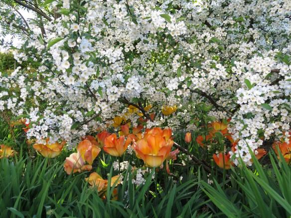 24 maj 15 trädhörnet tulpaner prydnadsapel 1