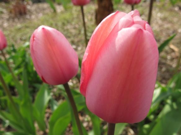29 april tulpan kopparlönn 2