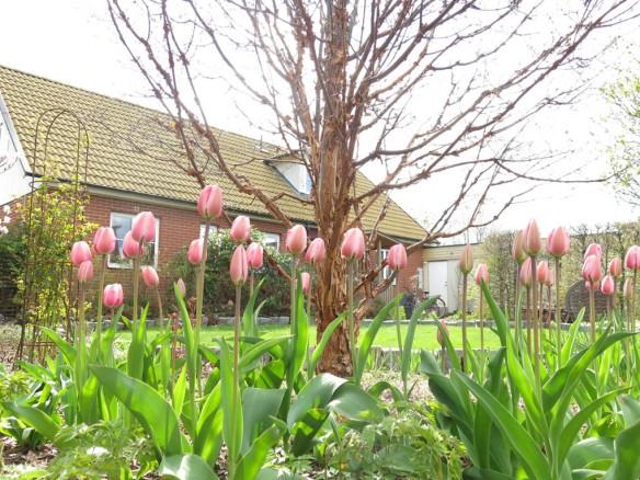 29 april tulpan kopparlönn