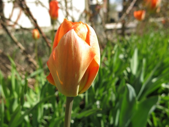 29 april tulpan spaljérabatt 1