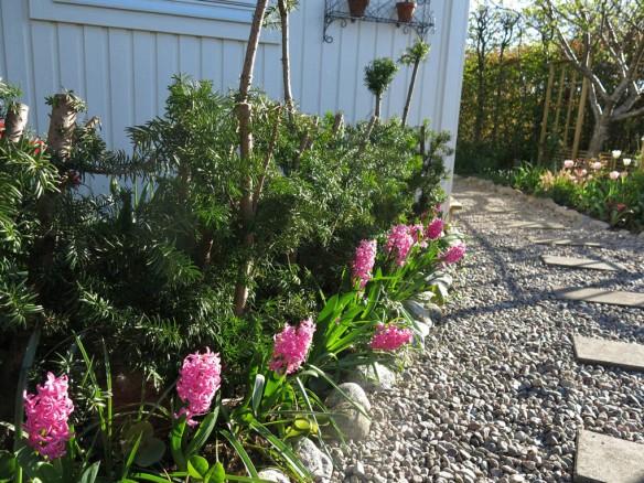 8 maj 15 hyacinter vid skära rabatten idegran